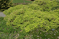 Golden Elf Spirea (Spiraea japonica 'Golden Elf') at Millcreek Gardens