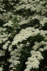 Snowmound Spirea (Spiraea nipponica 'Snowmound') at Millcreek Gardens