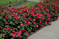 Knock Out® Rose (Rosa 'Radrazz') at Millcreek Gardens