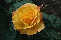 Good As Gold Rose (Rosa 'WEKgobafa') at Millcreek Gardens