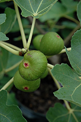 Common Fig (Ficus carica) at Millcreek Gardens