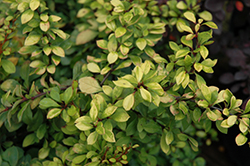 First Editions® Daybreak Japanese Barberry (Berberis thunbergii 'First Editions Daybreak') at Millcreek Gardens