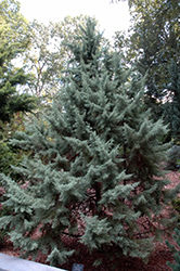 Chaparral Arizona Cypress (Cupressus arizonica 'Chaparral') at Millcreek Gardens
