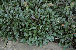 Blueberry Muffin Bugleweed (Ajuga reptans 'Blueberry Muffin') at Millcreek Gardens
