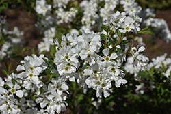 Snow Day® Blizzard Pearlbush (Exochorda 'Blizzard') at Millcreek Gardens