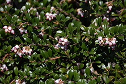Bearberry (Arctostaphylos uva-ursi) at Millcreek Gardens