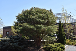 Japanese Umbrella Pine (Pinus densiflora 'Umbraculifera') at Millcreek Gardens