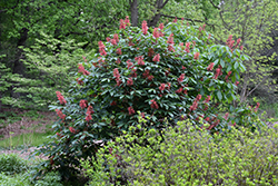 Red Buckeye (Aesculus pavia) at Millcreek Gardens