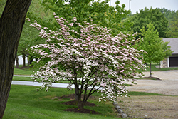 Stellar Pink Flowering Dogwood (Cornus 'Stellar Pink') at Millcreek Gardens