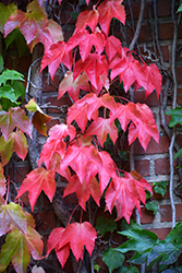 Boston Ivy (Parthenocissus tricuspidata) at Millcreek Gardens
