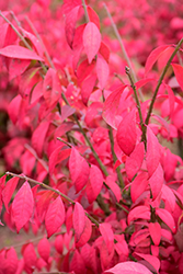 Cole's Compact Burning Bush (Euonymus alatus 'Cole's Compact') at Millcreek Gardens