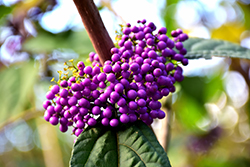 Profusion Beautyberry (Callicarpa bodinieri 'Profusion') at Millcreek Gardens