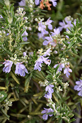 Huntington Carpet Rosemary (Rosmarinus officinalis 'Huntington Carpet') at Millcreek Gardens