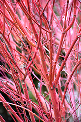 Coral Bark Japanese Maple (Acer palmatum 'Sango Kaku') at Millcreek Gardens