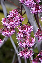Lavender Twist Redbud (Cercis canadensis 'Covey') at Millcreek Gardens