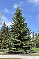 Blue Colorado Spruce (Picea pungens 'var. glauca') at Millcreek Gardens