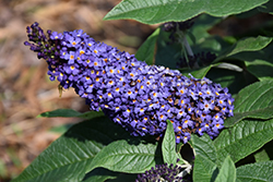 Pugster® Blue Butterfly Bush (Buddleia 'SMNBDBT') at Millcreek Gardens