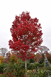 October Glory Red Maple (Acer rubrum 'October Glory') at Millcreek Gardens