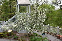 Chestnut Crab Apple (Malus 'Chestnut') at Millcreek Gardens