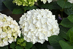 Blushing Bride® Hydrangea (Hydrangea macrophylla 'Blushing Bride') at Millcreek Gardens