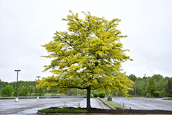 Sunburst Honeylocust (Gleditsia triacanthos 'Suncole') at Millcreek Gardens