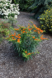 Gay Butterflies Butterfly Weed (Asclepias tuberosa 'Gay Butterflies') at Millcreek Gardens